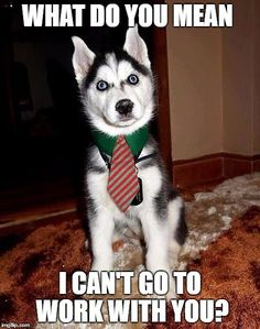 16 Best Siberian Husky Memes of All Time & Dog Red Line 16 Best Siberian. The post 16 Best Siberian Husky Memes of All Time & Dog Red Line appeared first on Bruce Kennels. Funny Puppy Memes, Funny Animal Jokes, Dog Quotes Funny, Dog Memes, Funny Dogs, Cute Dogs, Animal Memes, Awesome Dogs, Husky Humor