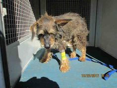 DEVORE,CA. EUTH LIST 10/31 17. Lola ID#A684167. 5 yr. old Terrier mix. Rescue only. Behavior. Also medical for fractured pelvis. Arrived 10/21/17.