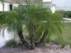 Ornamental Palm Trees |  20 Drought Tolerant Plants For Your Low-Maintenance Garden
