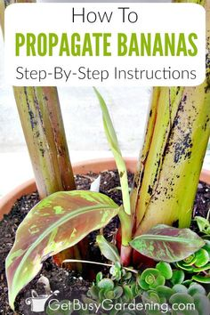 Comment faire pousser un bananier en pot - How To Grow Banana Trees In Pots. Growing banana trees in pots in a tropical climate is extremely easy, with little to no care banana tree grows in the.Growing banana trees in pots. Pots Banana is a lush gre Diy Garden, Garden Care, Edible Garden, Garden Plants, Indoor Plants, Palm Plants, Tropical Plants, Potted Trees, Trees To Plant