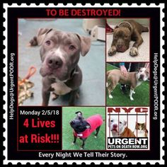 TO BE DESTROYED 02/05/18 - - Info     https://newhope.shelterbuddy.com/Animal/List   To rescue a Death Row Dog, Please read this:http://information.urgentpodr.org/adoption-info-and-list-of-rescues/ List of NH Rescues: http://www.nycacc.org/get-involved/new-hope/nhpartners To view the full album, please click ...-  Click for info & Current Status: http://nycdogs.urgentpodr.org/to-be-destroyed-4915/