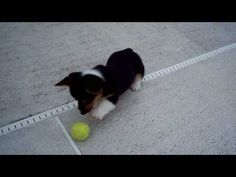 Corgi playing ballie!