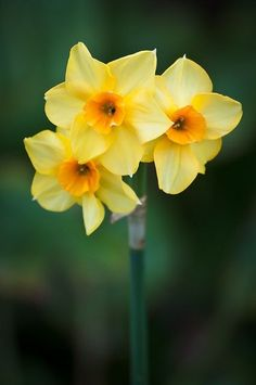 The daffodil is the national flower of Wales