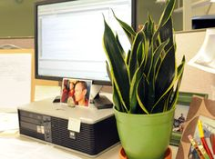 for my no window office: cubicle friendly plants | office life