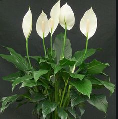Easy House Plants, House Plants Decor, Plant Decor, Easy Care Houseplants, Peace Lily Plant, Yucca, Plantas Indoor, Ficus Elastica, Flowers