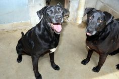 08/10/14~SUPER URGENT~Sam & General~BEGGING! Black Labrador Retriever & Great Dane Mix • Senior • Male • Extra Large Bowling Green-Warren County Humane Society Bo...