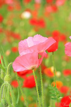 ~~ spring colors ~ poppies by * Yumi * ~~