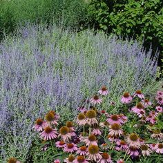 Perovskia atriplicifolia Russian Sage from Midwest Groundcovers Types Of Flowers, Purple Flowers, Colorful Flowers, Rabbit Resistant Plants, Russian Sage, Leaf Texture, Drought Tolerant, Flower Types