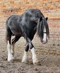 Vladimir Heavy Draught (Google - The Vladimir Heavy Draft is a breed of draft horse which comes from Vladimir, in the former USSR, in Russia. It is a strong horse that is an all-around draft horse of medium size.)