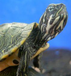Tartaruga doméstica