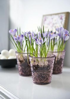 Spring purple crocus in glasses