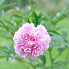 Happy Monday ihr Lieben! Wir wünschen euch einen guten Start in die neue Woche 🌸🌸🌸 #mondayflowers . . . . #montagsmotivation #mondaymood #happymonday #flowermagic #flowerpower #peonies #pfingstrosen #pinkflowers #ausmeinemgarten #gartenblumen #gardenflowers #countrygarden #countryside #sommerzeit