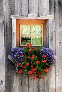 Weathered Glow Siding / Purple lobelia and red ivy geraniums on the window. Window Box Flowers, Window Boxes, Flower Boxes, Container Plants, Container Gardening, Succulent Containers, Container Flowers, Vegetable Gardening, Ivy Geraniums