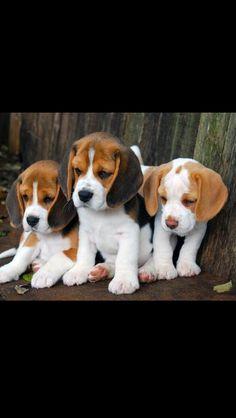 Amazing Beagle Chubby Adorable Dog - d71f90eef886820a69aa287ff57722c7--beagle-pups-beagles  Image_16946  .jpg