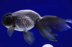 Blue Phoenix Eggfish » DandyOrandas.com Oranda Goldfish, Animals And Pets, Cute Animals, Golden Fish, Blue Eggs, Aquarium Fish, Fish Tank, Betta, Under The Sea
