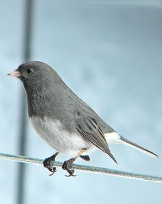 The Dark-eyed Junco (Junco hyemalis) is the best-known species of the juncos, a genus of small grayish American sparrows.
