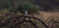 Black-shouldered Kite, Blouvalk, (Elanus caeruleus) http://birdwatcher.co.za/black-shouldered-kite-blouvalk-elanus-caeruleus/