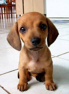 36 Absolutely Adorable And Funny Animals 36 Absolutely Adorable And Funny Animals. More funny animals here.[optin-cat id& Dachshund Puppies, Cute Dogs And Puppies, Baby Dogs, I Love Dogs, Dachshunds, Doggies, Cute Animals Puppies, Puppies Puppies, Adorable Puppies