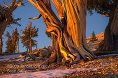 Google Image Result for http://tahoelight.com/blog/wp-content/uploads/2009/04/bristlecone_pine_sunrise_photo_03a.jpg