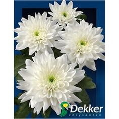White football mum flower pinterest football mums flowers and we have an eggcellent range of flowers available on our website take a look at these chrysant spr euro very popular double white mightylinksfo
