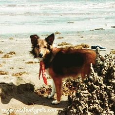 #throwbackthursday #TBT Jenny the Sheltie at the beach!  She is at our blog today too.  #dogs #dogstagram #woof #pets #dogsofig #dogsofinstagram #petsofinstagram #instagramdogs #shelties #shetlandsheepdog #puppy #instapuppy