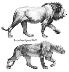 African lion and lioness by LeenZuydgeest