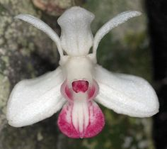 Orchid-Mimicry: Exotic New Orchid Discovered, in 2010, in Papua New Guinea: Scientists from the conservation non-profit WWF discovered this flower, along with at least seven other new species of orchid, in the tropical rain forests of Papua New Guinea.