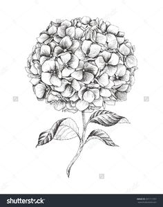 stock-vector-hand-drawn-hydrangea-vector-illustration-in-vintage-style-201111707.jpg (1261×1600)