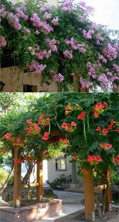 [I like the style of the lower pergola, and also the way it's set into brick planter beds.] If you're looking for something to cover an arbor, pergola or fence in your garden must check out these flowering vines! Climbing Flowers, Climbing Vines, Climbing Flowering Vines, Climbing Hydrangea, Campsis, Vine Trellis, Wisteria Trellis, Wisteria Pergola, Wood Trellis