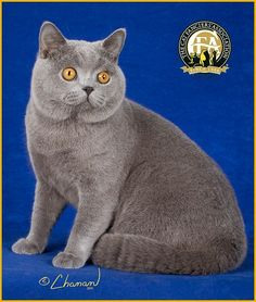 GC, NW Chelsea Rose Higgins, Blue Male British Shorthair - 15th Best Cat in North America/Japan/Europe
