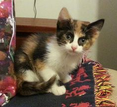 Meet Gwen 33105613, an adoptable Calico looking for a forever home. If you're looking for a new pet to adopt or want information on how to get involved with adoptable pets, Petfinder.com is a great resource.