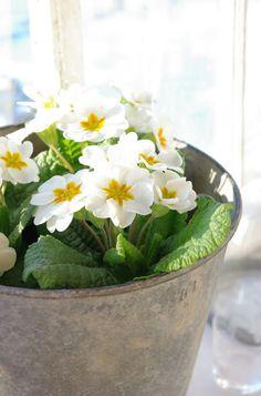 White Primrose 'Harbinger'. http://www.barnhaven.com/acaulis/harbinger