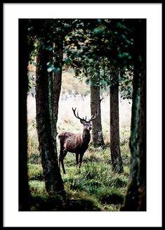 Stag in forest Poster in de groep Posters / Afmetingen / 50x70cm bij Desenio AB (2743)