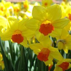 Narcissus Glen Clova