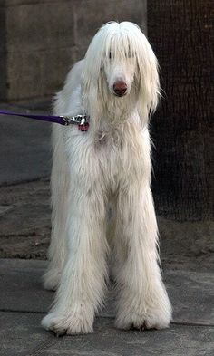 White Afghan Hound. I used to breed Afghans many years ago.