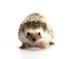 Hedgehog on white background:スマホ壁紙(壁紙.com)