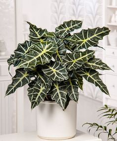 House Plant - Alocasia 'Polly' | Plants from Bakker Spalding Garden Company