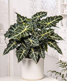 House Plant - Alocasia 'Polly' | Plants from Bakker Spalding Garden Company