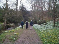 Snowdrop Walk. Heale Gardens, near Salisbury