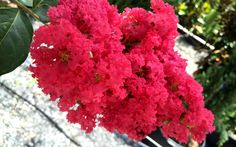 Tuscarora Crape Myrtle-This all-time favorite beauty produces an abundance of bright, watermelon red colored flower clusters for up to 120 days of summer.