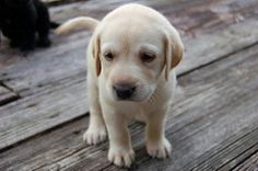 yellow lab puppy   by micheycards