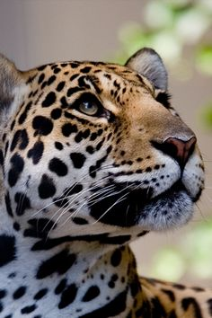 """The leopard (Panthera pardus) is a member of the Felidae family and the smallest of the four """"big cats,"""" the other three being the tiger, lion and jaguar. Beautiful Cats, Animals Beautiful, Cute Animals, Wild Animals, Tier Fotos, Mundo Animal, All Gods Creatures, Leopards, Big Cats"""