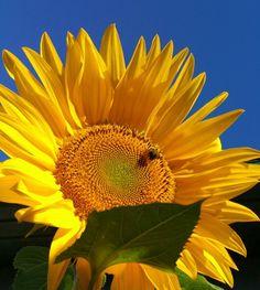 Sunflower sky 2 Sunflowers, Sky, Plants, Heaven, Flora, Plant, Sunflower Seeds, Planting