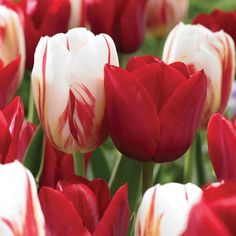 You will love this sweet combination of red and white striped tulips in your spring garden. 15 Seadov Tulips and 15 Carnval de Rio Tulips bloom mid spring in the Candy Stripe Duo. This blend of tulips is specially created for Holland Bulb Farms. Calla Lily Flowers, Red Tulips, Rare Flowers, Bulb Flowers, Exotic Flowers, Beautiful Flowers, Spring Flowering Bulbs, Blooming Plants, Planting Bulbs