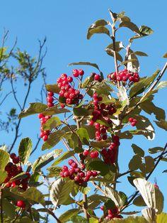 Cassiopée2010 posted a photo:  L'arbre à baies pour les oiseaux !