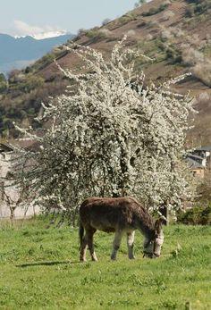Un burro pace tranquilo bajo los primeros rayos de sol de la primavera, dando la espalda a un cerezo -