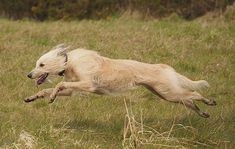 Lurcher, Kangaroo, David Tomlinson, Dog Breeds, Terrier, Dogs, Animals, Country, Friends