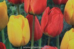 Tulipanes de varios colores. Bulbos a la venta en nuestra tienda online