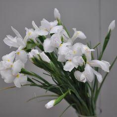 Iris Alb Iris, White Magic, Moldova, Plants, Irise, Irises, Planters, Plant, Planting