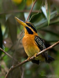 Rufous-collared Kingfisher (Actenoides concretus) female at Bangka Island, Sumatra, Indonesia.